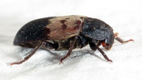 Millioner af mink blev slået ned: Eksperter mener, at det har tvungetflæskeklanner-billen ud til villakvarterer